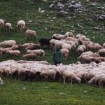 Een echte herder, in weer en wind bij zijn kudde!